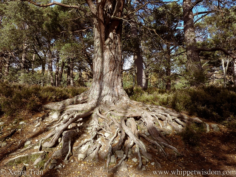 an ancient pine tree with the lower half of roots exposed