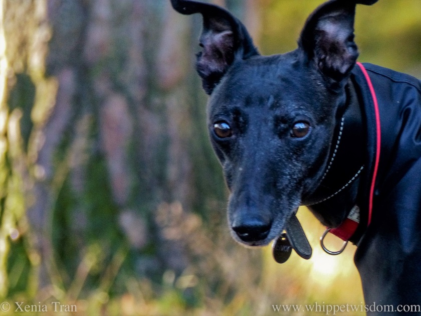 portrait of a mature black whippet in a black jacket in the forest