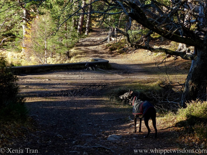 a black whippet in a jacket on a forest trail