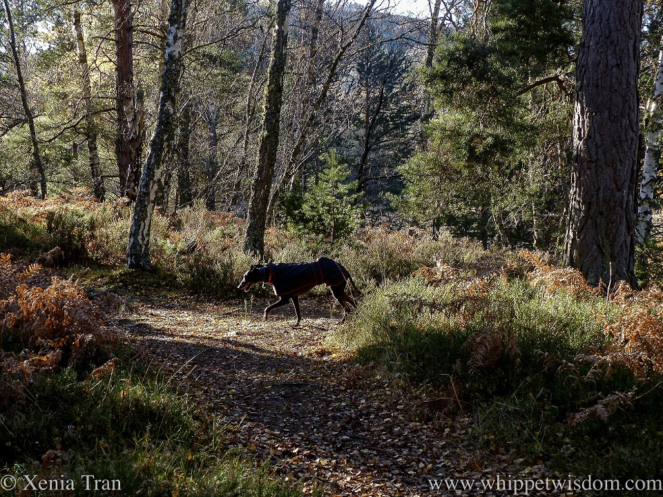 a smiling black whippet in a black jacket on a forest trail