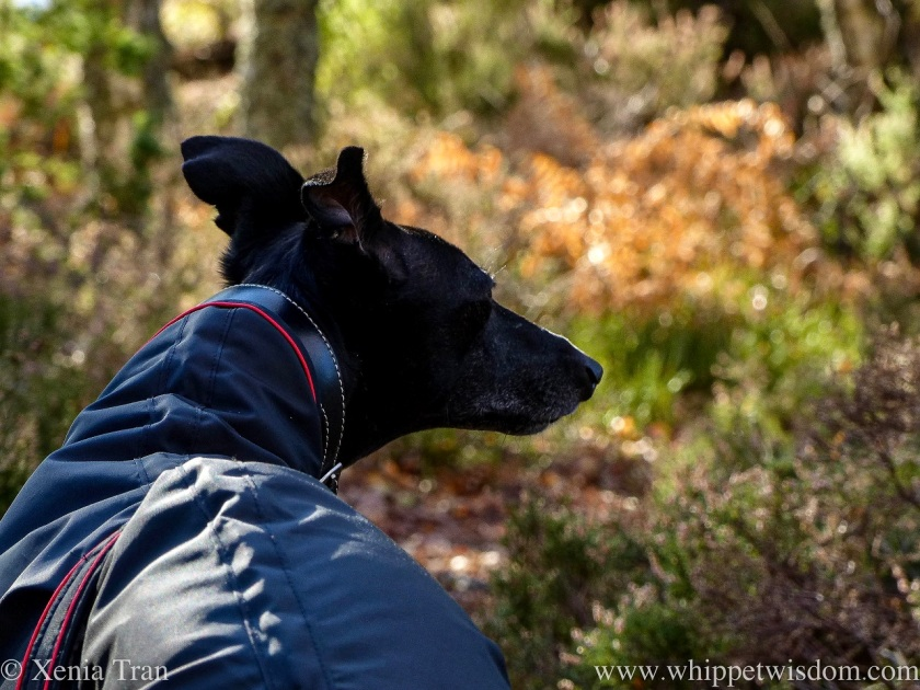 a black whippet in a black jacket in the forest