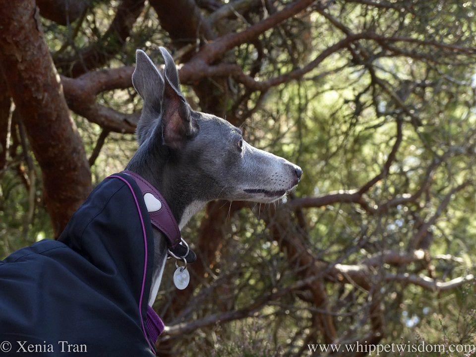 a blue and white whippet in a jacket looking ahead between the pine trees