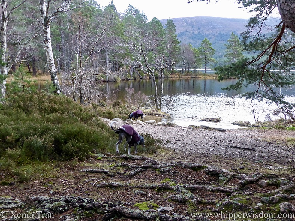 two whippets in jackets near the shores of Lochan Eilein