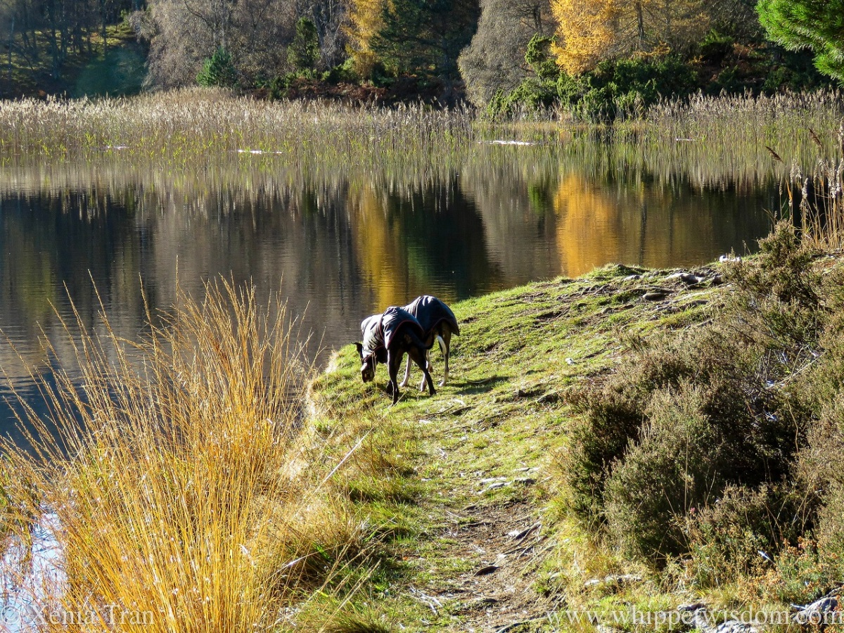 two whippets in black jackets bending down side by side to sniff the grass on the loch shore