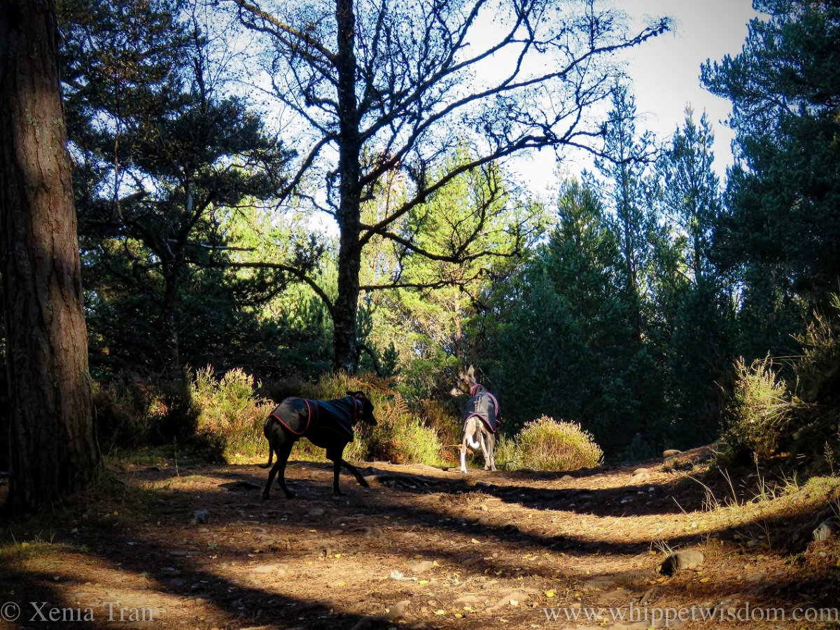 two whippets in black jackets on an autumnal forest trail