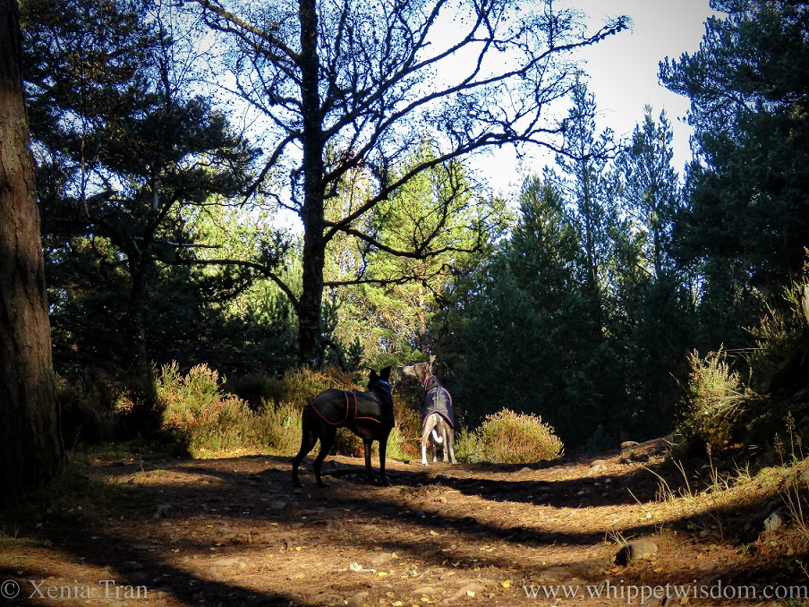 two whippets in black jackets on a forest trail looking up