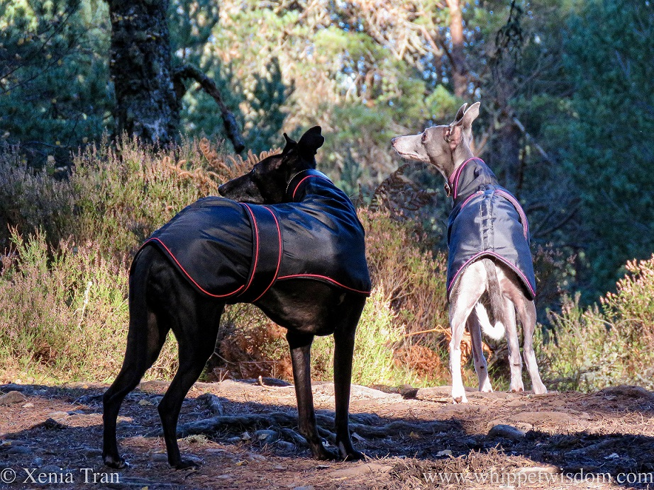 two whippets in black jackets on a forest trail