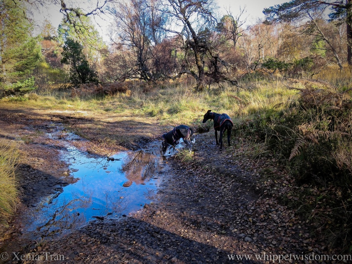 two whippets in black jackets by a rivulet crossing the forest trail