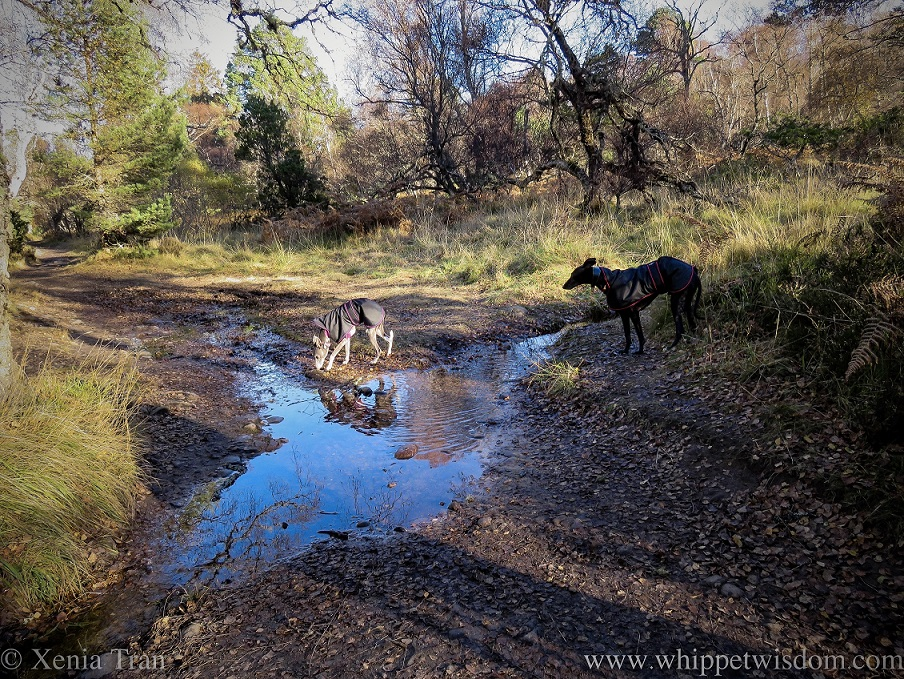 two whippets in black jackets either side of an overflowing stream on a forest trail