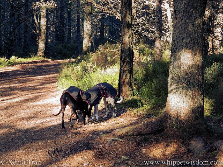 two whippets in jackets sniffing the forest trail together