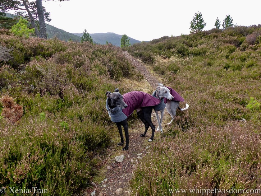 two smiling whippets in jackets on a mountain trail between heather and pine