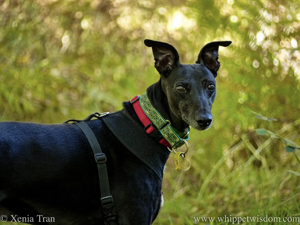 close up of a black whippet on a forest trail