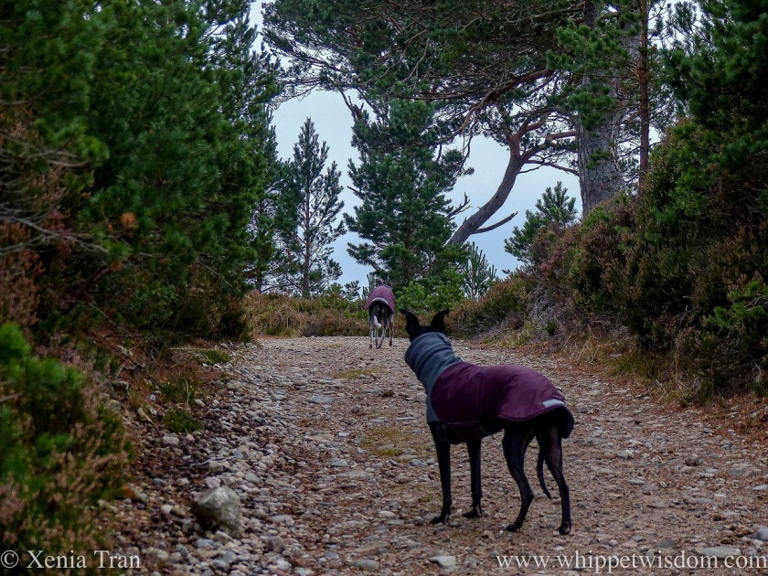 two whippets in maroon jackets on a steep mountain trail