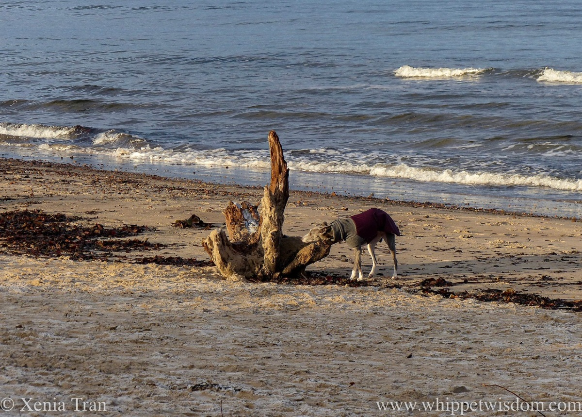 a blue and white whippet in a jacket sniffing a large chunk of driftwood on the beach
