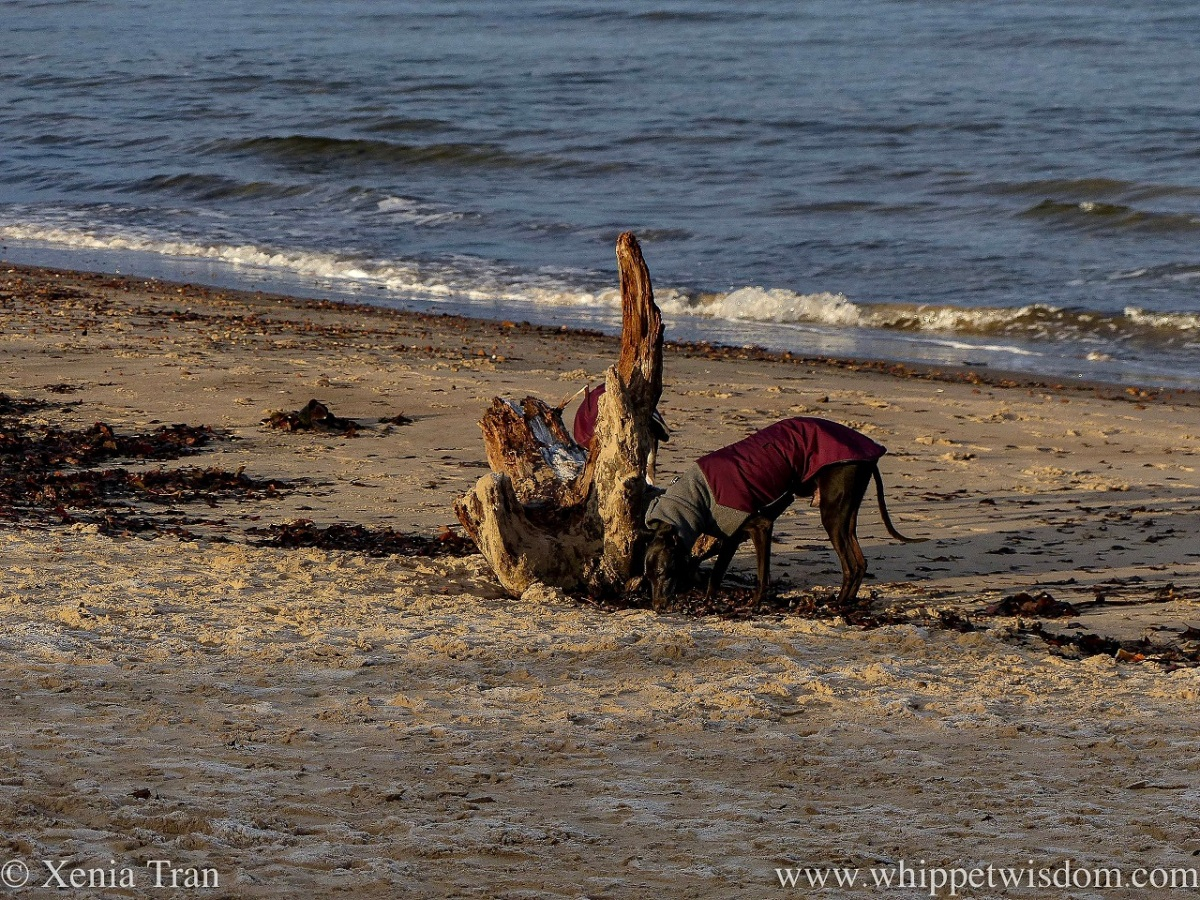 a black whippet in a jacket sniffing kelp beside a large piece of driftwood