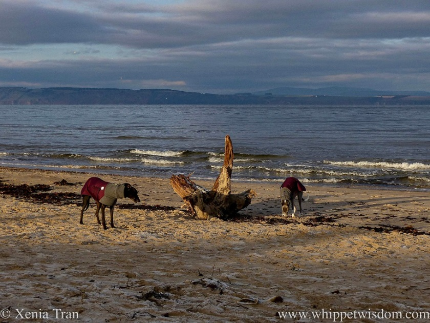 two whippets in maroon jackets on the beach with driftwood