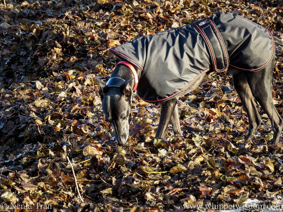 a black whippet in a jacket sniffing autumn leaves washed up on the beach