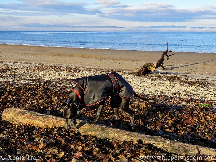 a black whippet in a jacket sniffing washed up leaves on the beach