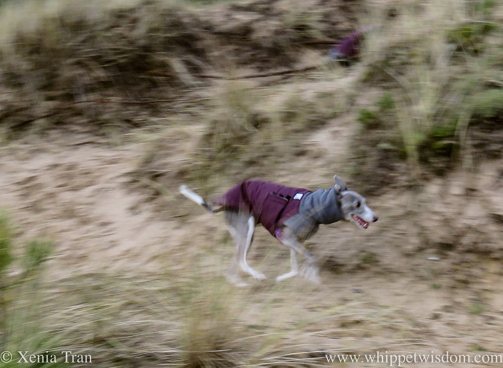 slightly panned action shot of a smiling blue and white whippet in a jacket zooming through the dunes