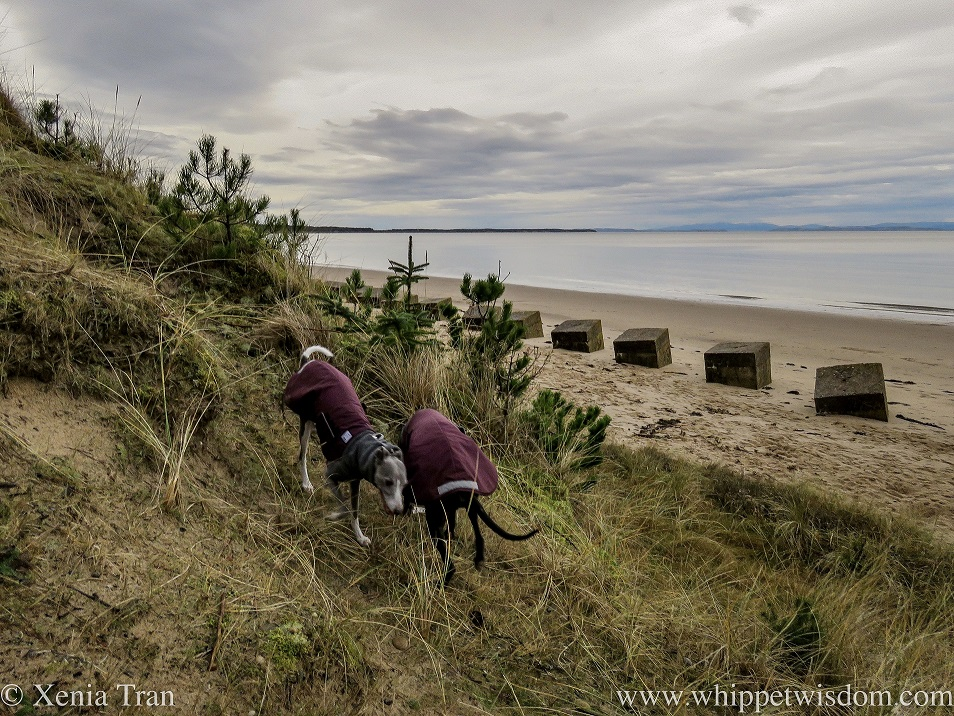 two whippets running past each other on a steep dune above the beach