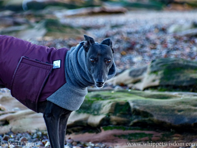 close up of a black whippet in a jacket on the beach