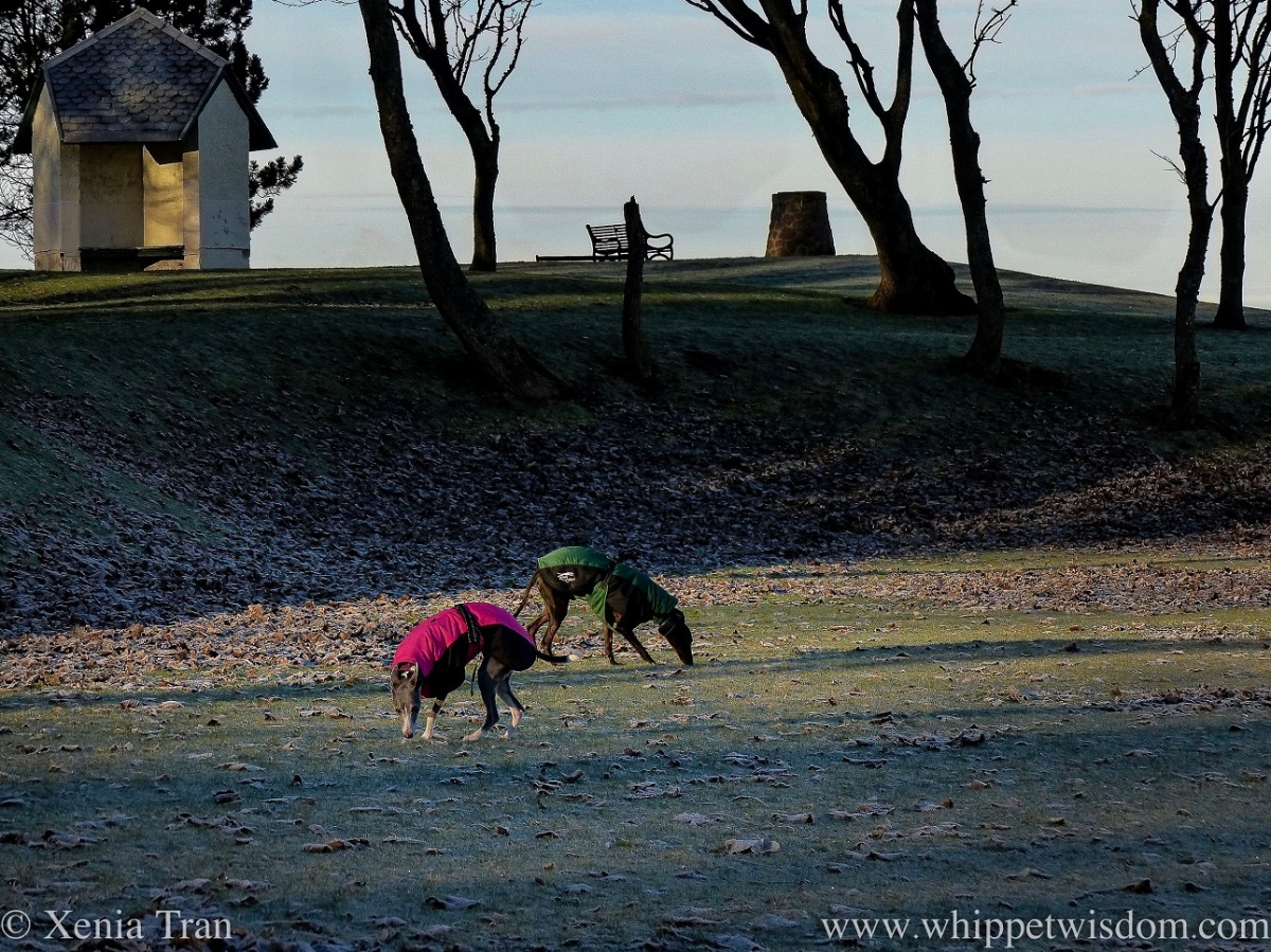 two whippets in winter jackets sniffing the frozen grass beside a hill