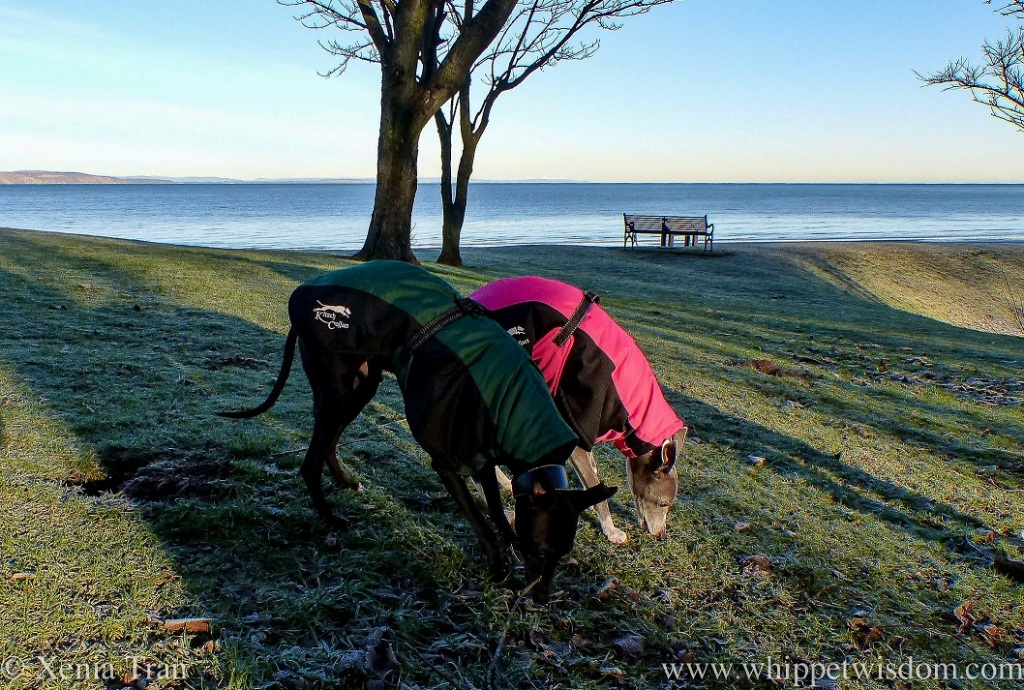 two whippets in winter jackets sniffing the frozen grass side by side