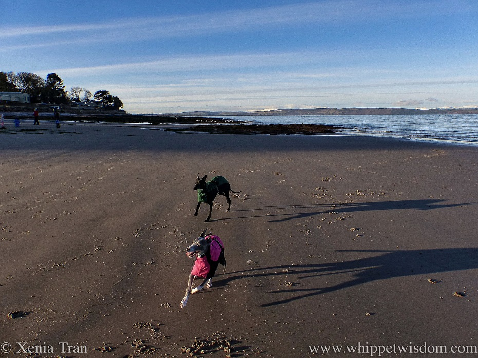 two whippets in winter jackets playing on tidal sands