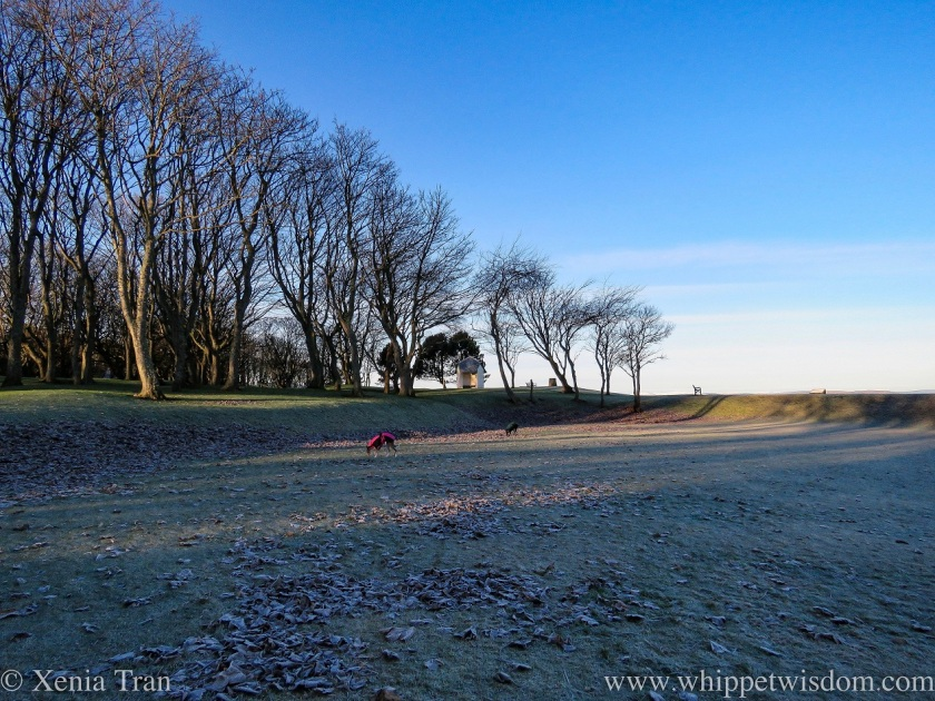 two whippets in a park with frozen ground and leafless trees in winter