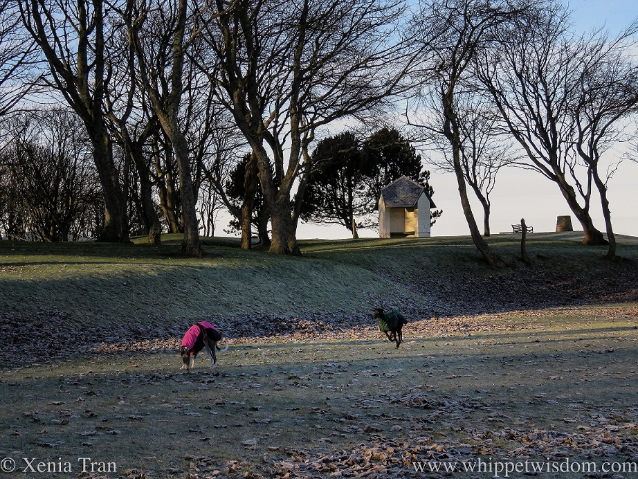 two whippets in winter jackets in a park with frozen grass and leaves