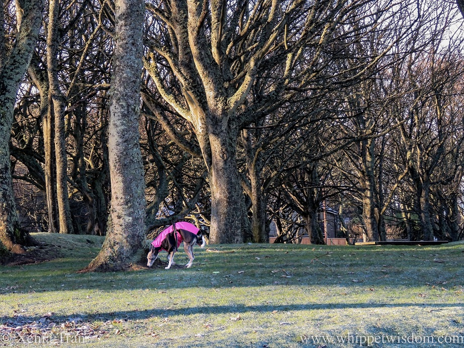 a whippet in a winter jacket smelling the root of a tree