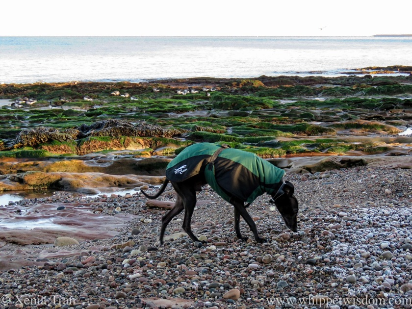 a black whippet in a winter jacket sniffing frost-covered stones on the beach