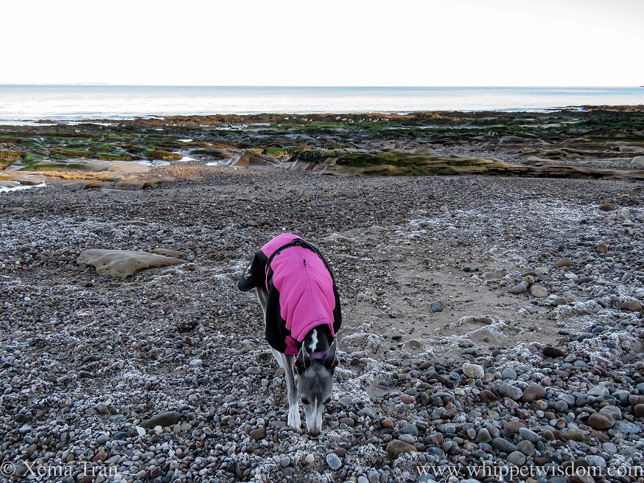 a blue and white whippet sniffing frost-covered stones on the beach