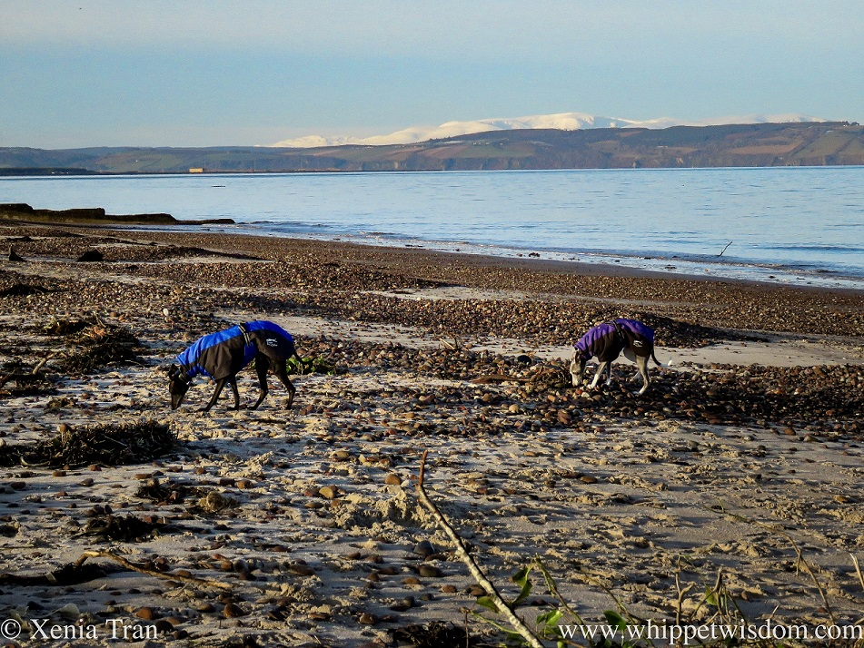 two whippets in winter jackets sniffing the seaweed on the beach