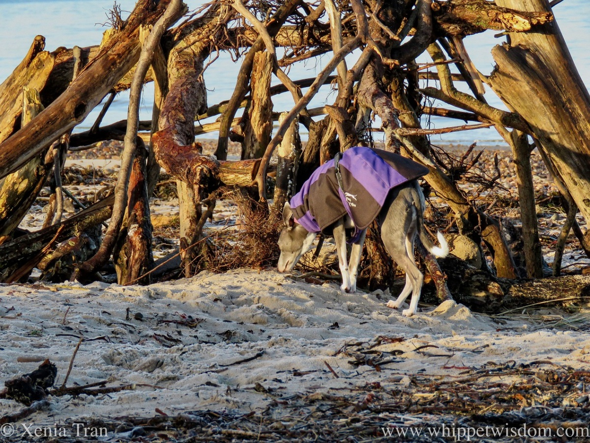 a blue and white whippet in a winter jacket walking into a driftwood shelter on the beach