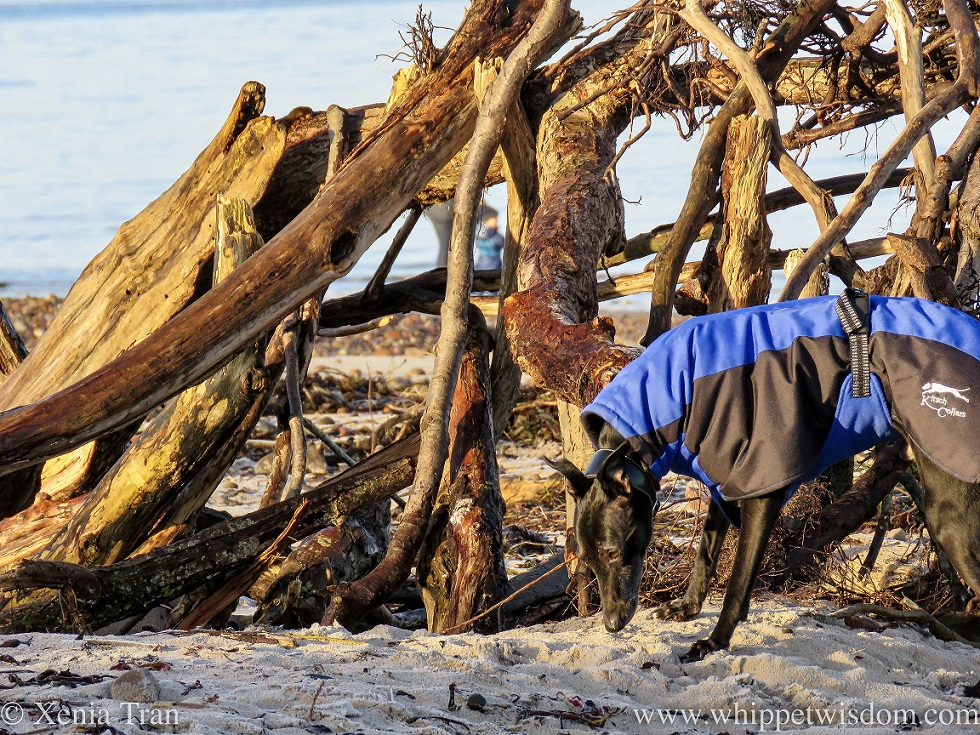 a black whippet in a winter jacket on the beach beside a shelter made from driftwood
