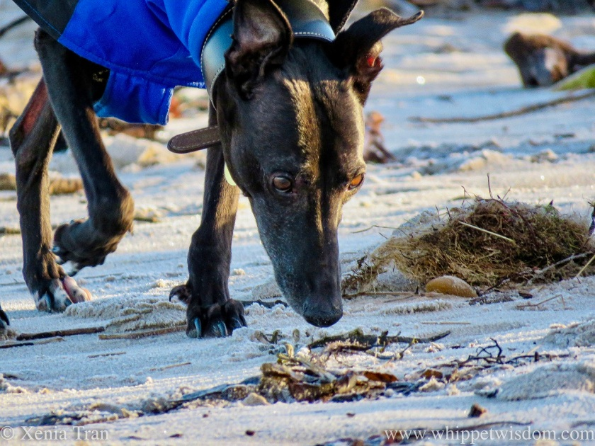 close up of a black whippet in a winter jacket sniffing seaweed on the beach