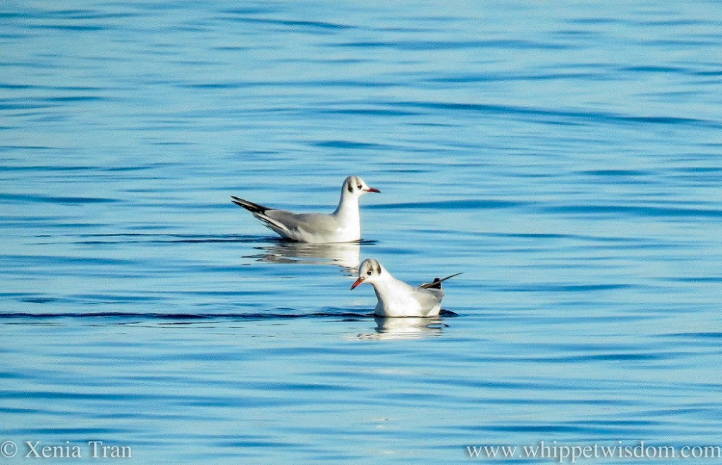 a pair of black-headed gulls swimming in the sea