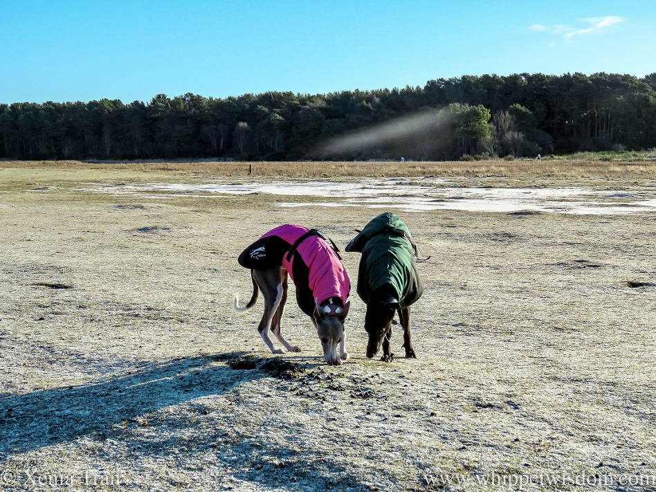 two whippets in winter jackets sniffing the frozen ground near wetlands
