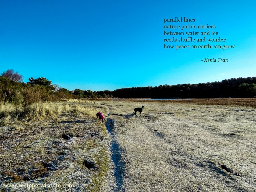 tanka poem by Xenia Tran with an image of two whippets in winter jackets near part frozen wetlands under a clear blue sky