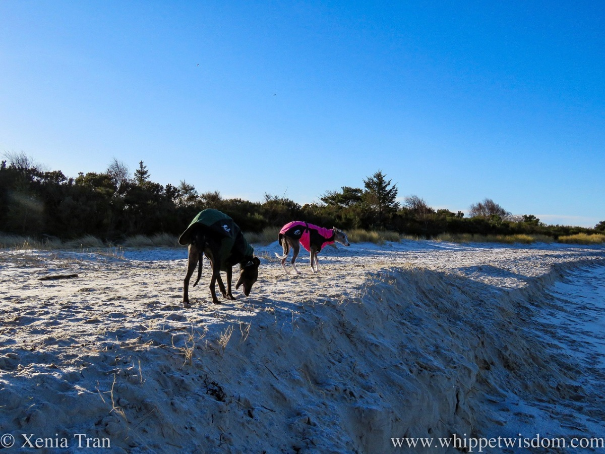 two whippets in winter jackets on sun-lit sands near the dunes