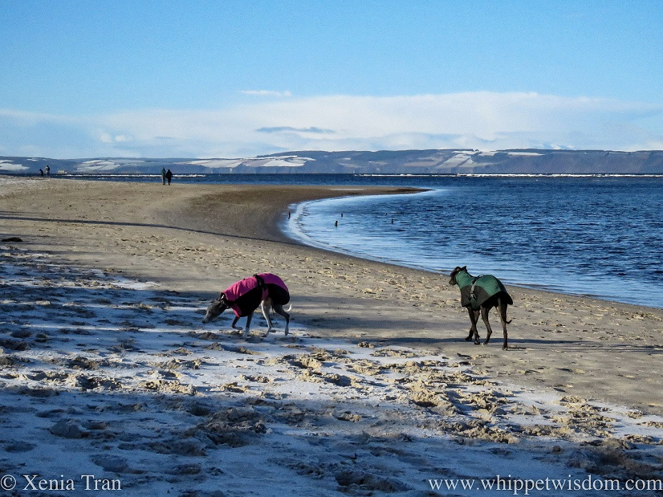 two whippets in winter jackets walking along the beach