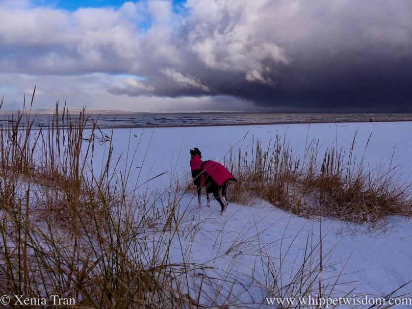 a blue and white whippet in a winter jacket standing on snow-covered dunes with a storm on the horizon