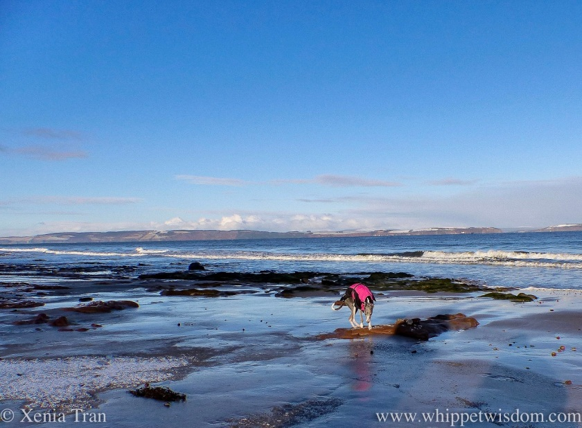 a blue and white whippet in a winter jacket on tidal sands with a dusting of snow