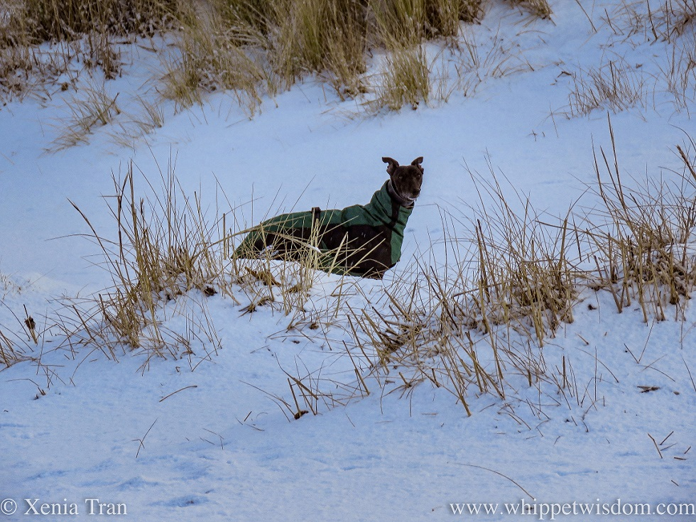a black whippet in a winter jacket standing in snow-covered dunes