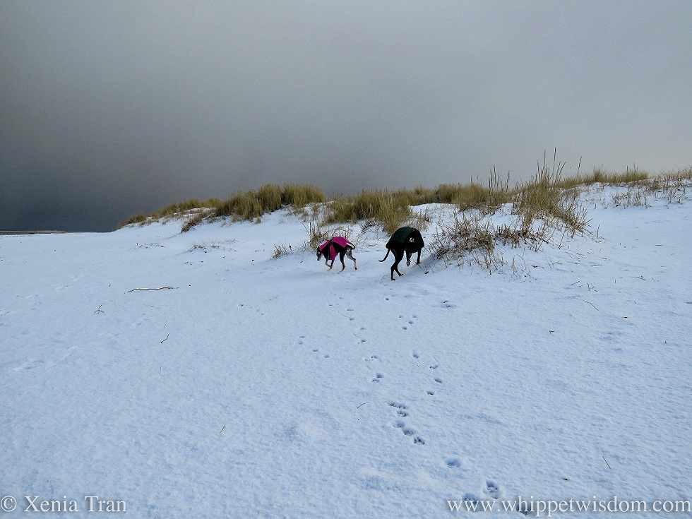 two whippets in winter jackets walking by snow-covered dunes