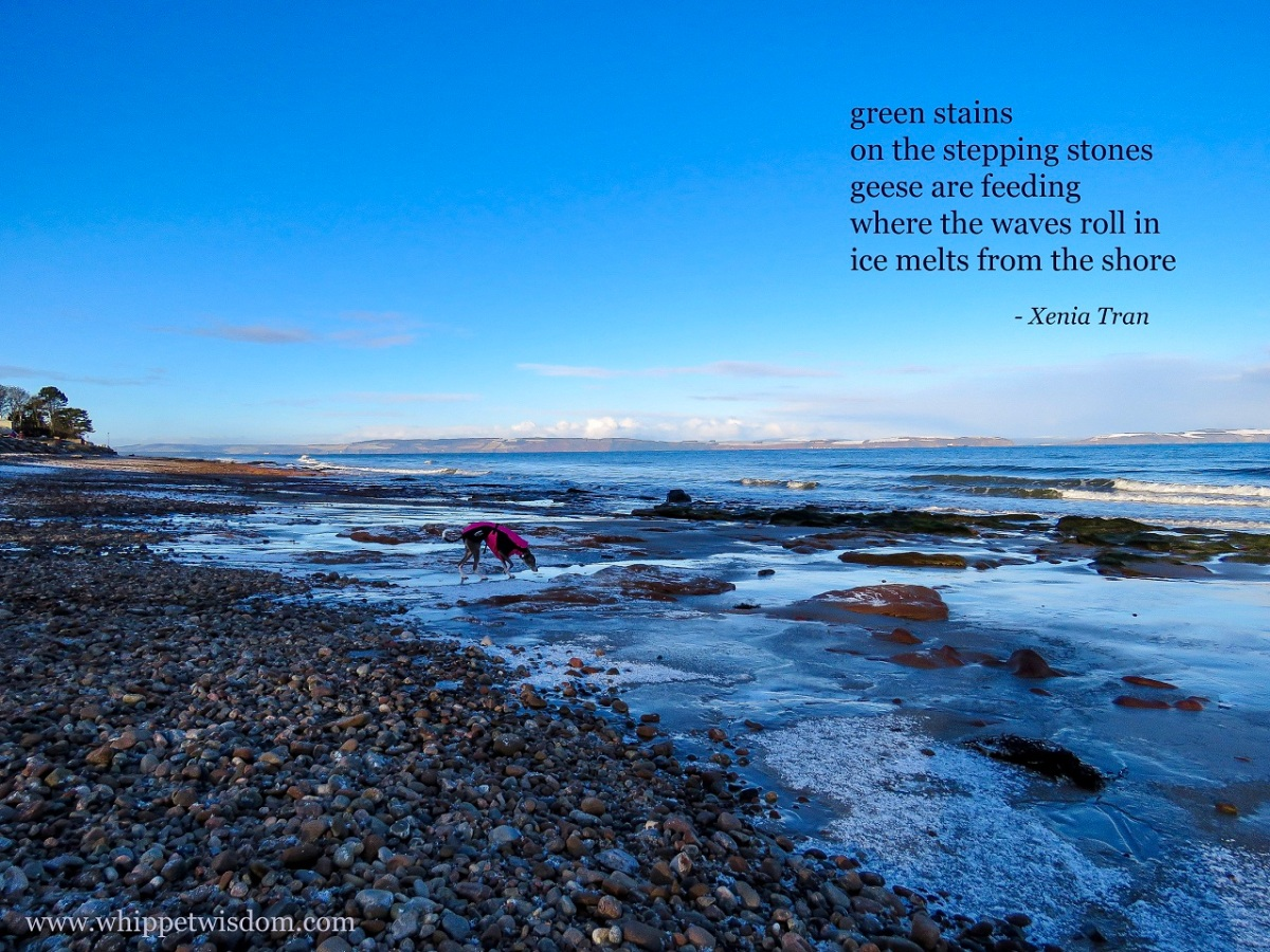 tanka poem by Xenia Tran with a whippet on a beach with snow and ice