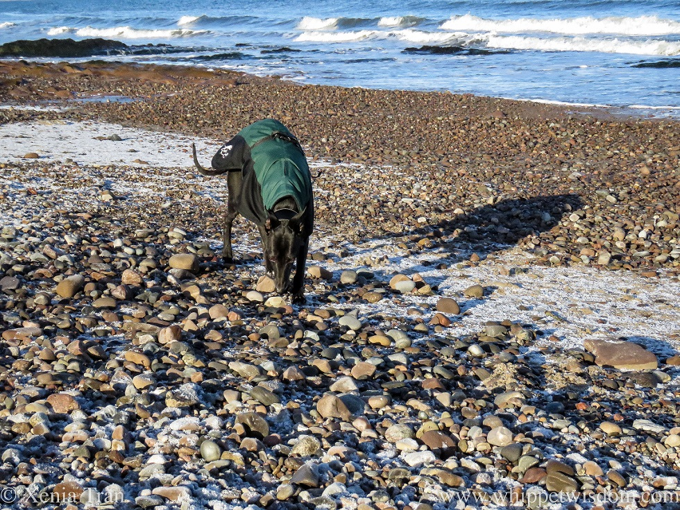 a black whippet in a winter jacket walking across the shingle on the shore
