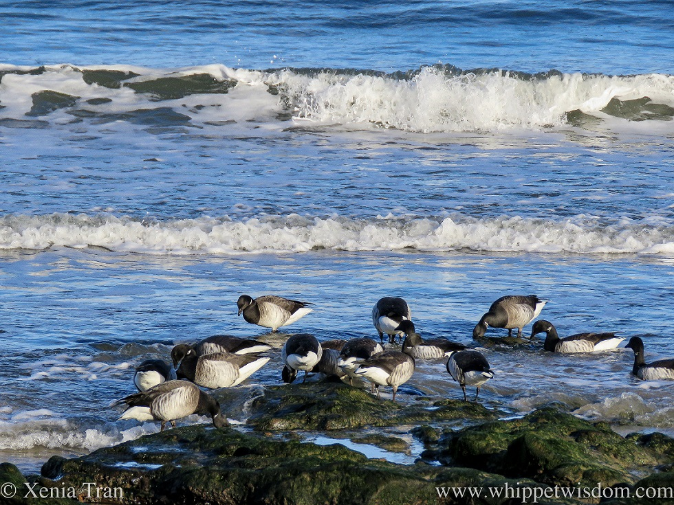 a small flock of brent geese feeding on the shore