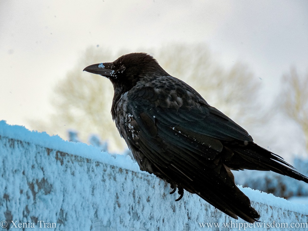 a young crow on top of a fence in the snow